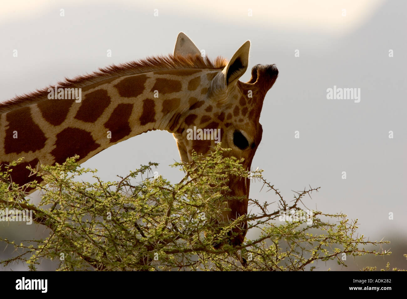 samburu reserve Kenya Africa - Stock Image