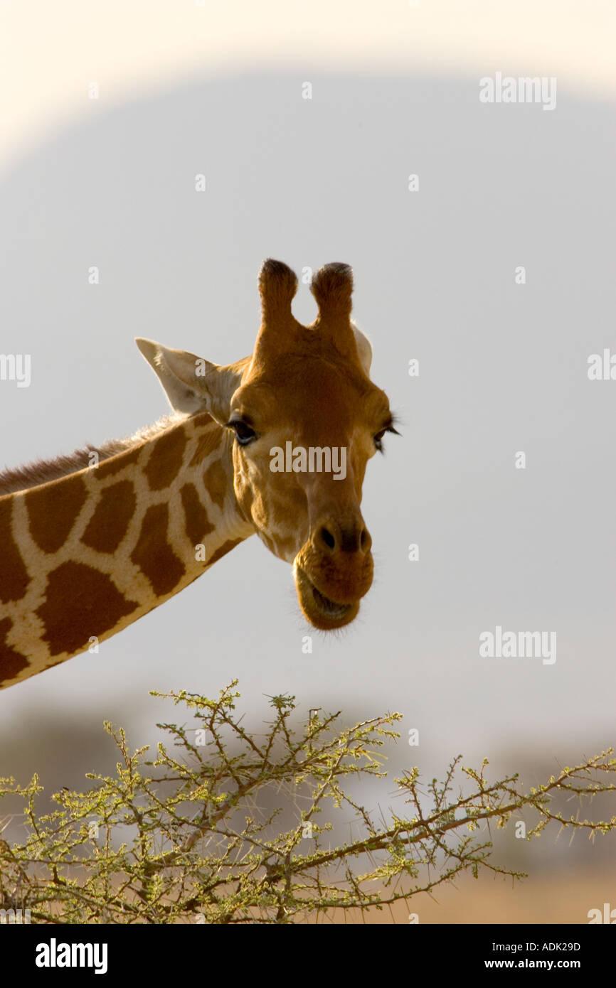 giraffe feeding on tree tops - Stock Image