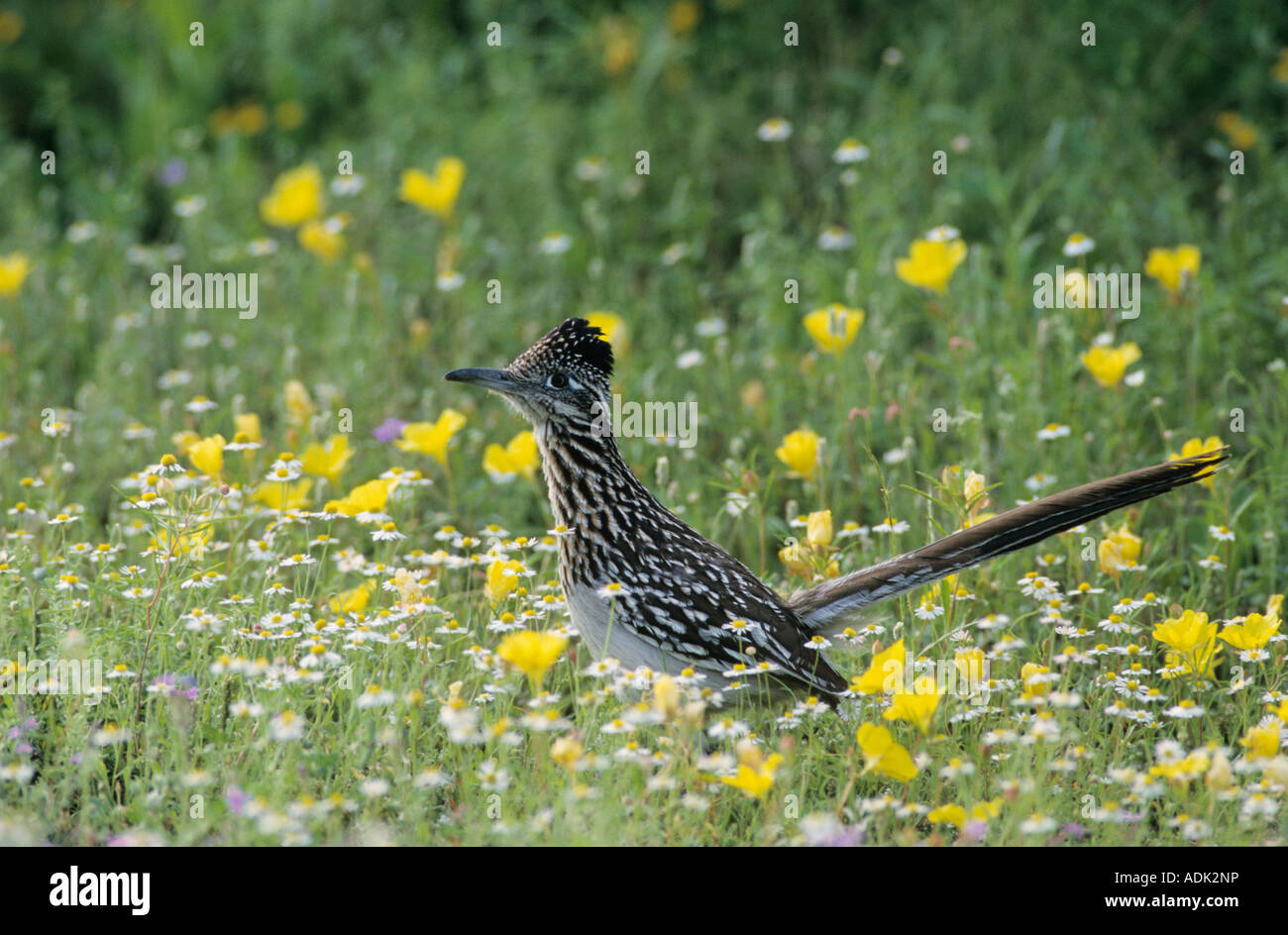 Greater Roadrunner Geococcyx californianus adult in wildflowers Choke Canyon State Park Texas USA April 2002 - Stock Image