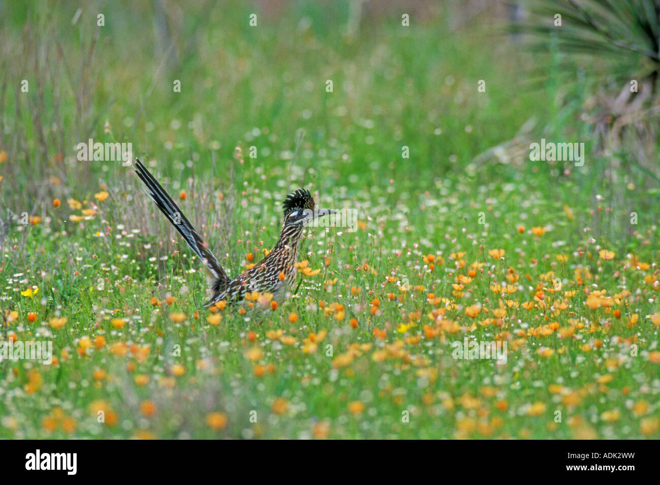 Greater Roadrunner Geococcyx californianus adult in wildflowers Golden Flax Choke Canyon State Park Texas USA April - Stock Image