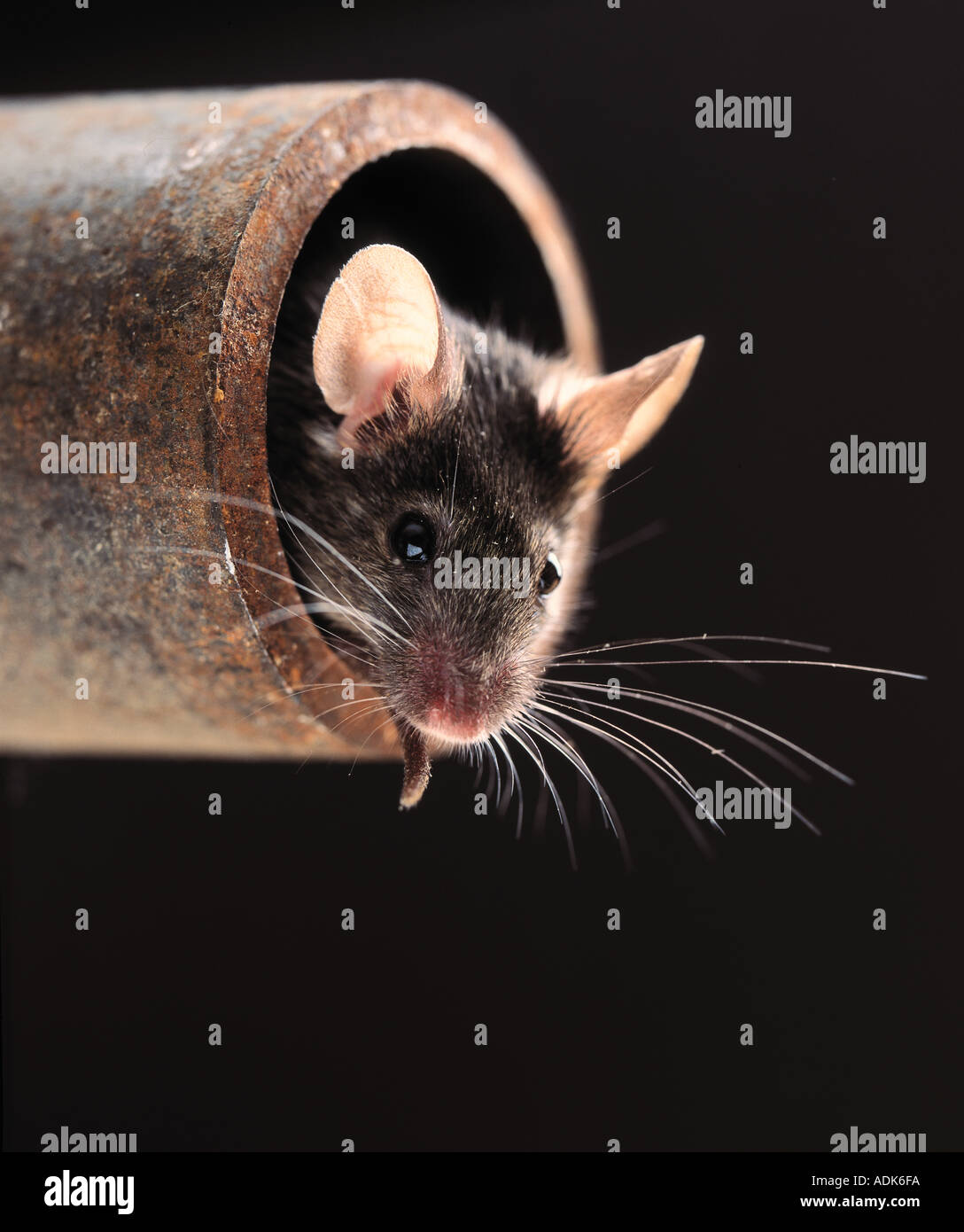 house mouse looking out from a pipe / Mus musculus - Stock Image