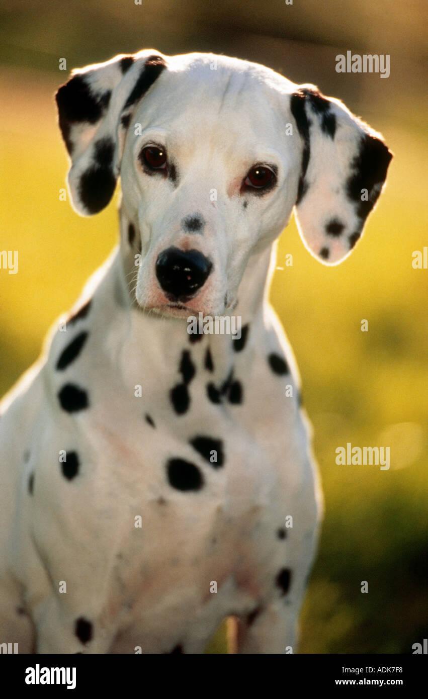 Dalmatian dog - portrait - Stock Image
