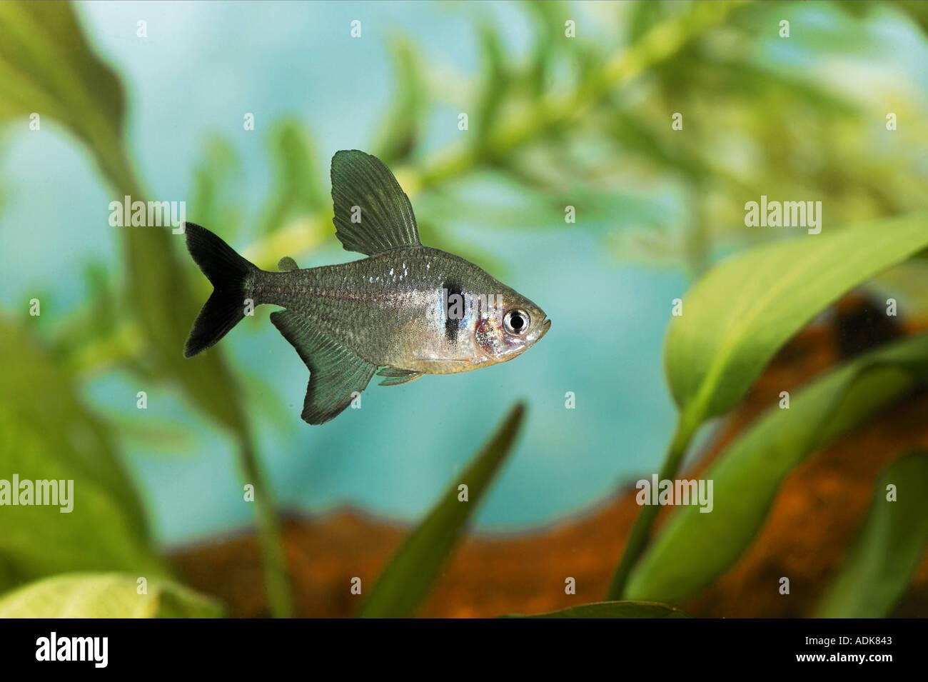 black phantom tetra / Hyphessobrycon megalopterus Stock Photo