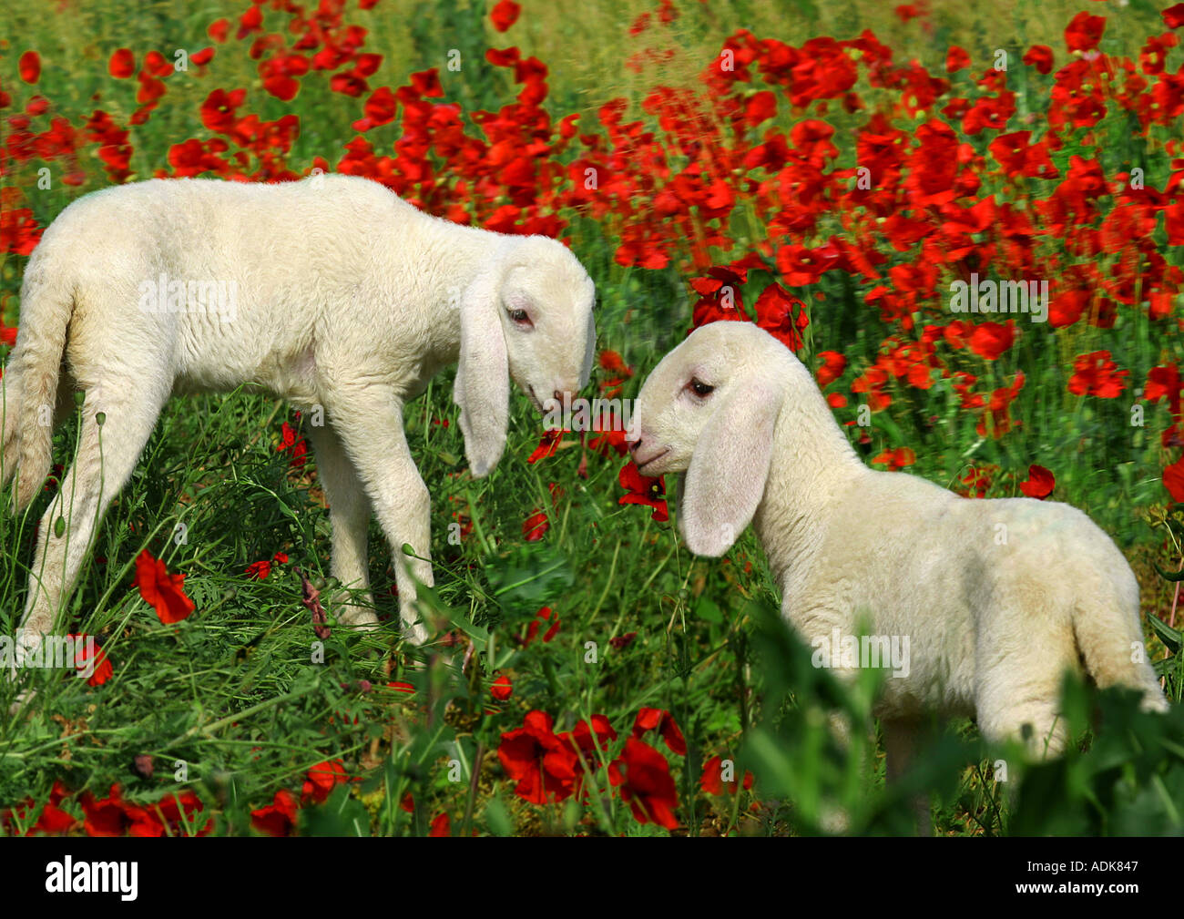 sheep - two lambs on meadow with poppies / Ovis Aries Stock Photo