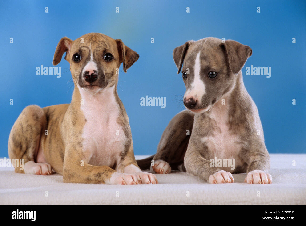 two whippet puppies - cut out Stock Photo