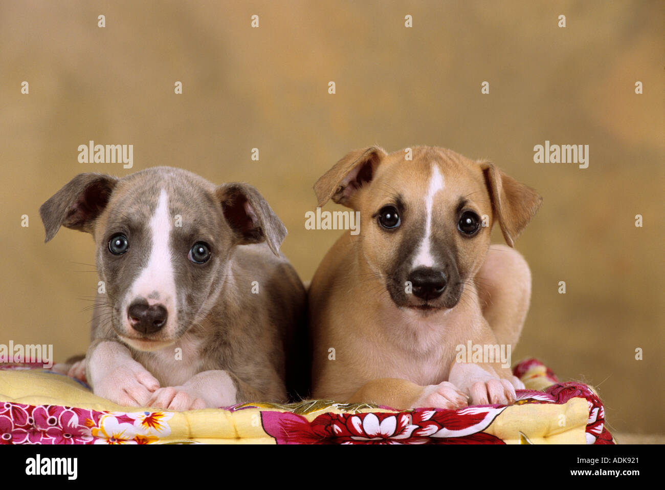 two Whippet dogs - puppies - lying on dog-pillow Stock Photo