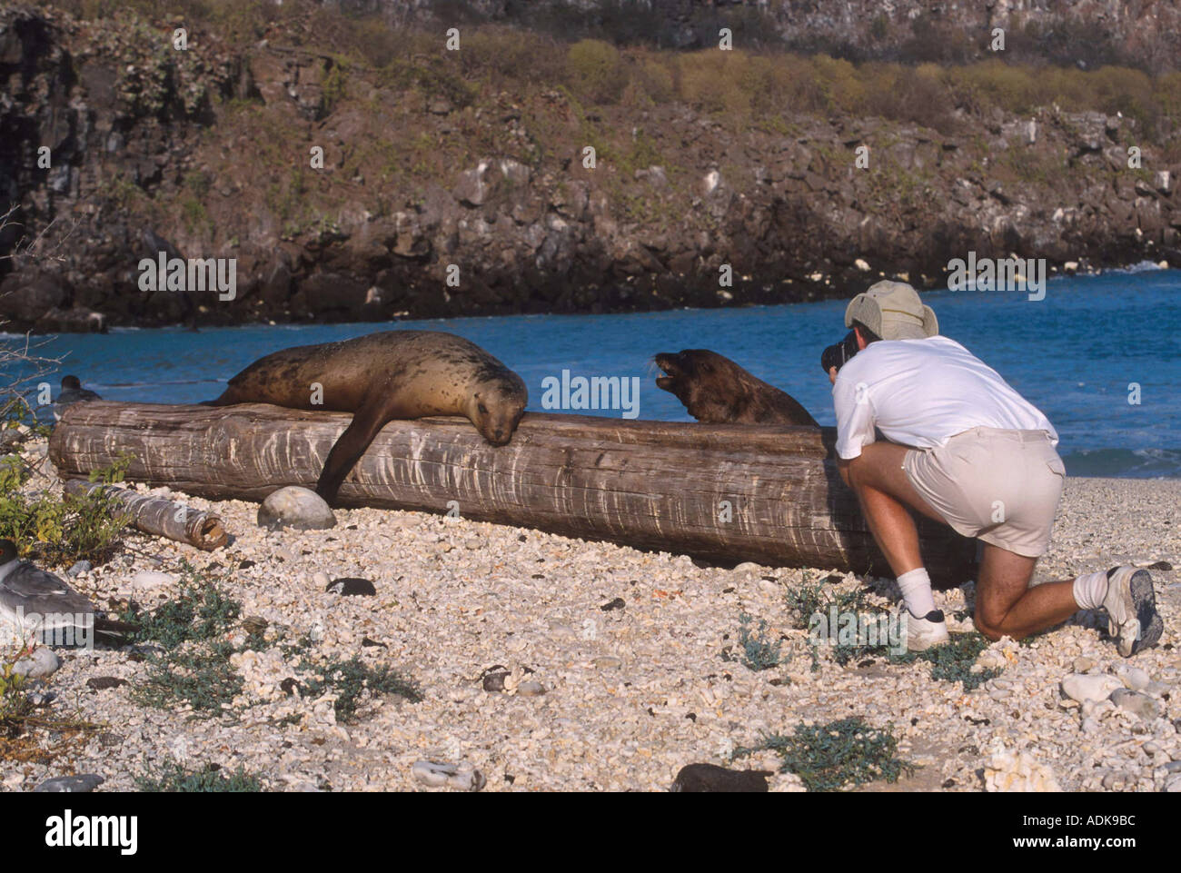 Sports Pastimes Photography Photographing Galapagos Sea Lion - Stock Image