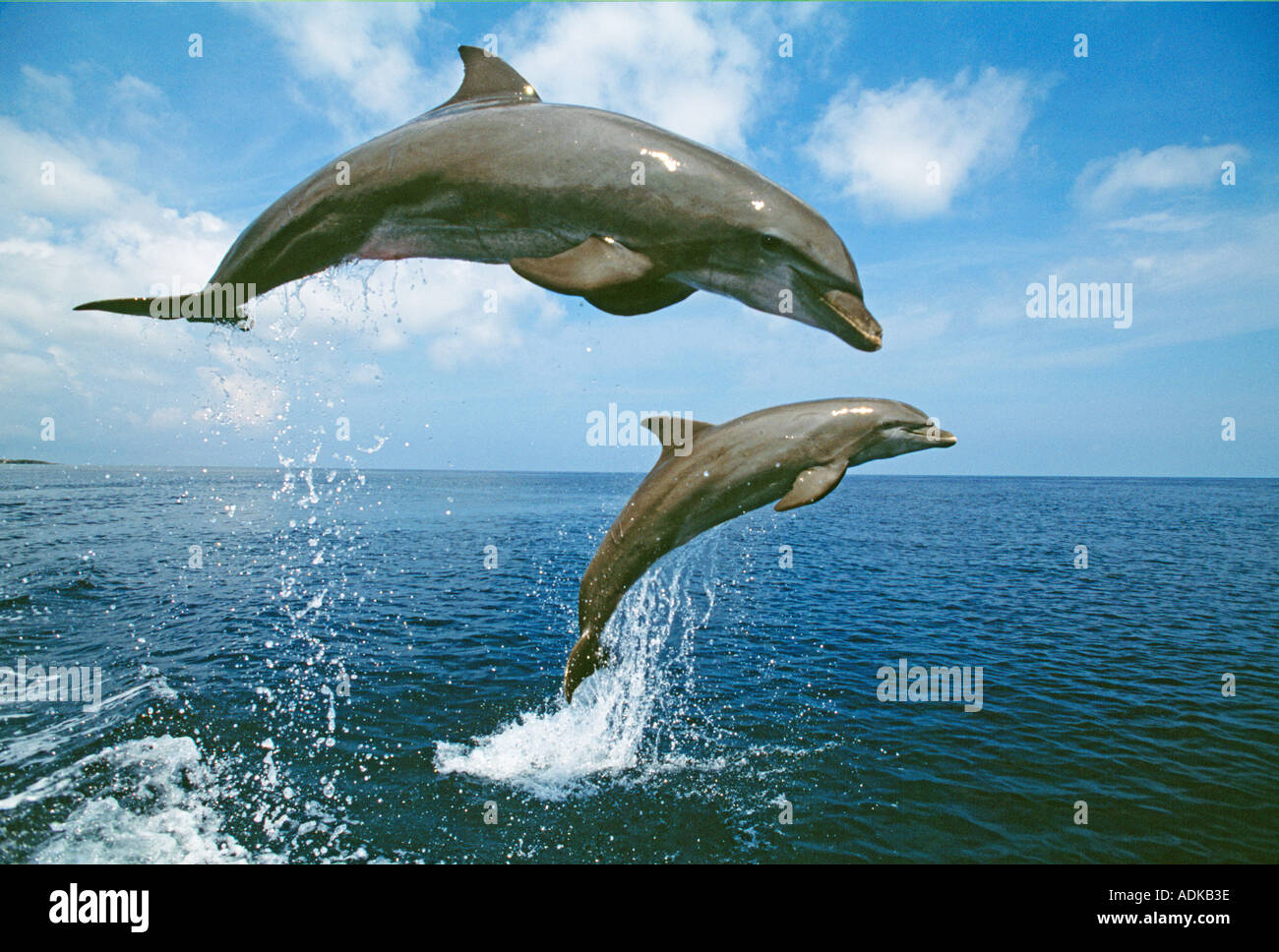 Bottlenose Dolphin Caribbean Stock Photo