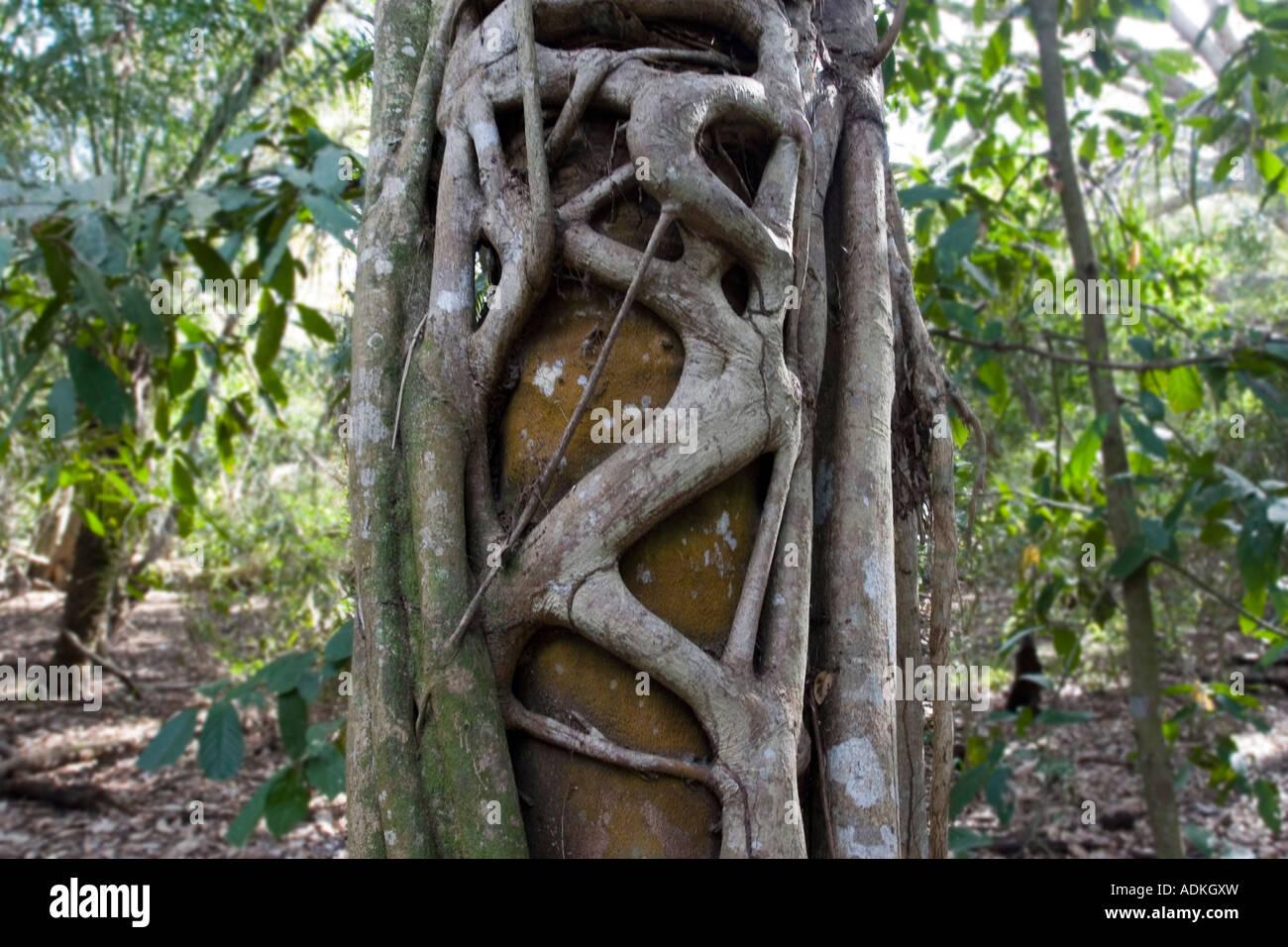 Strangle Fig Tree - Stock Image