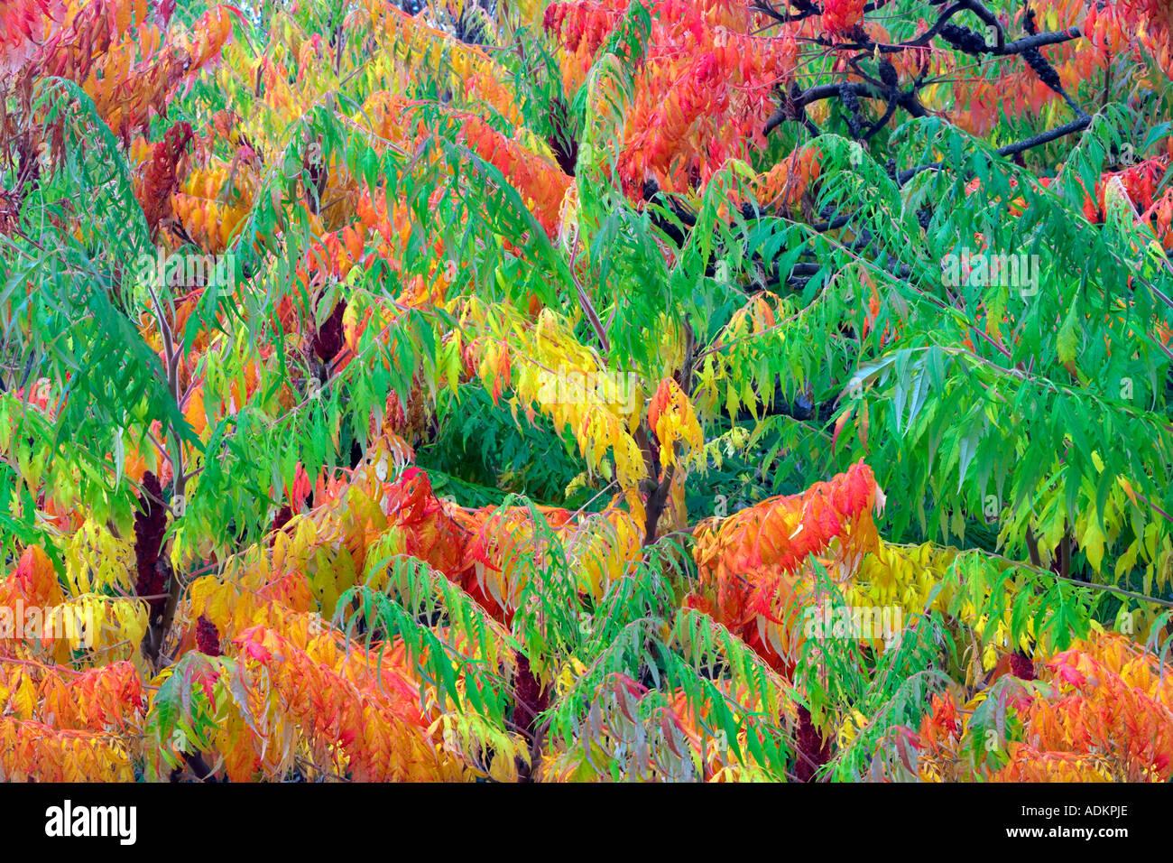 Cutleaf Sumac Rhus glabra Laciniata in fall color Hoyt Arboretum Portland Oregon - Stock Image