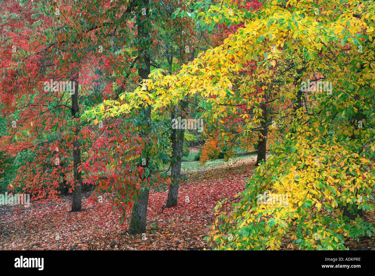 Path in Hoyt Arboritum with fall colored tupolo trees Nyssa ...
