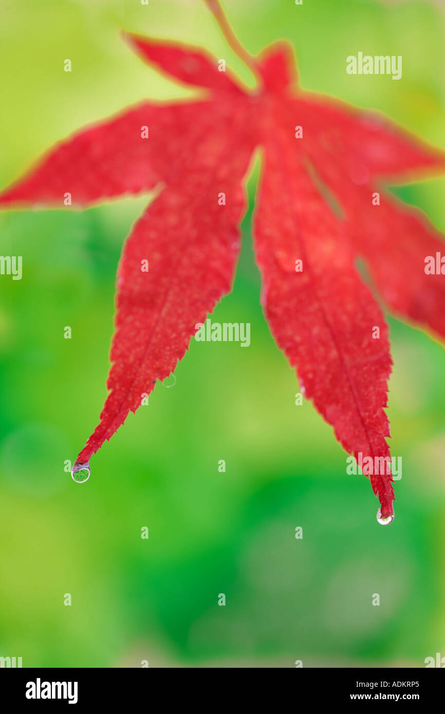 Fall colored japanese maple leaf Wilsonville Oregon - Stock Image