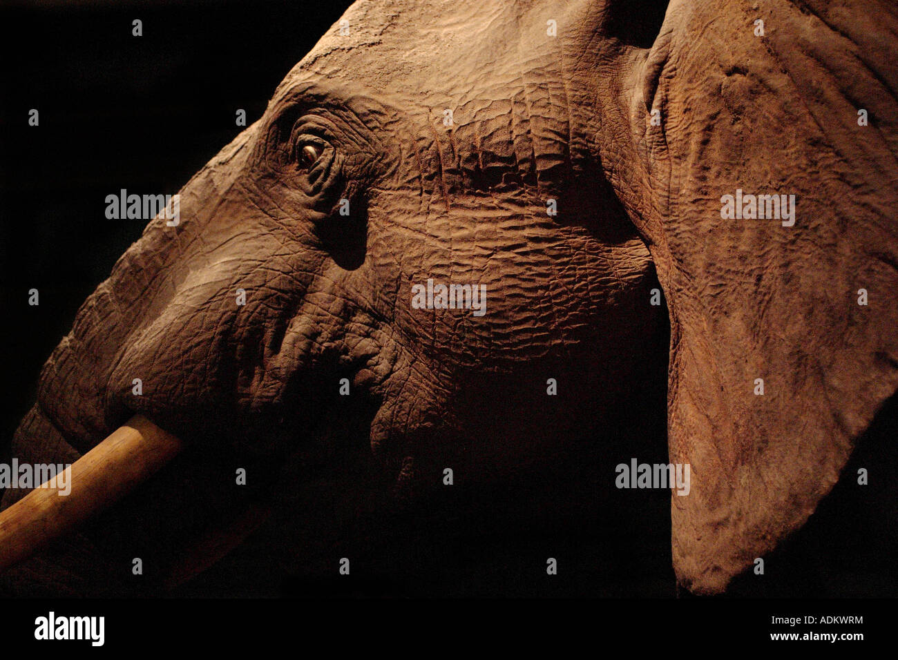 Elephant - Stock Image