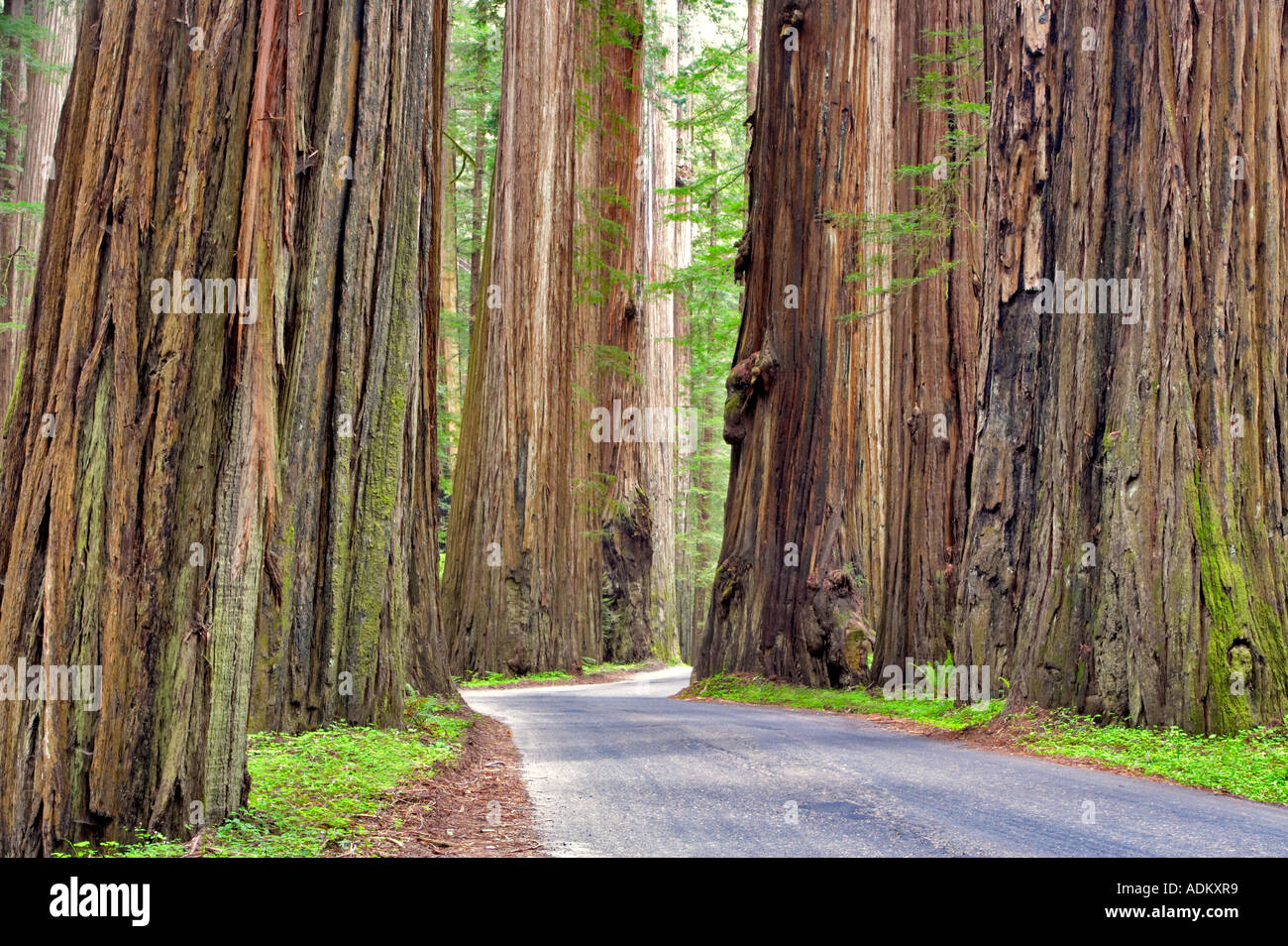 Road through Humbolt Redwoods State Park with redwoods California - Stock Image