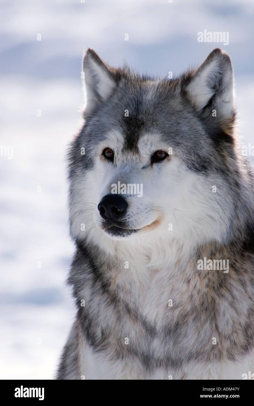 Captive Gray Wolf winter portrait - Stock Image