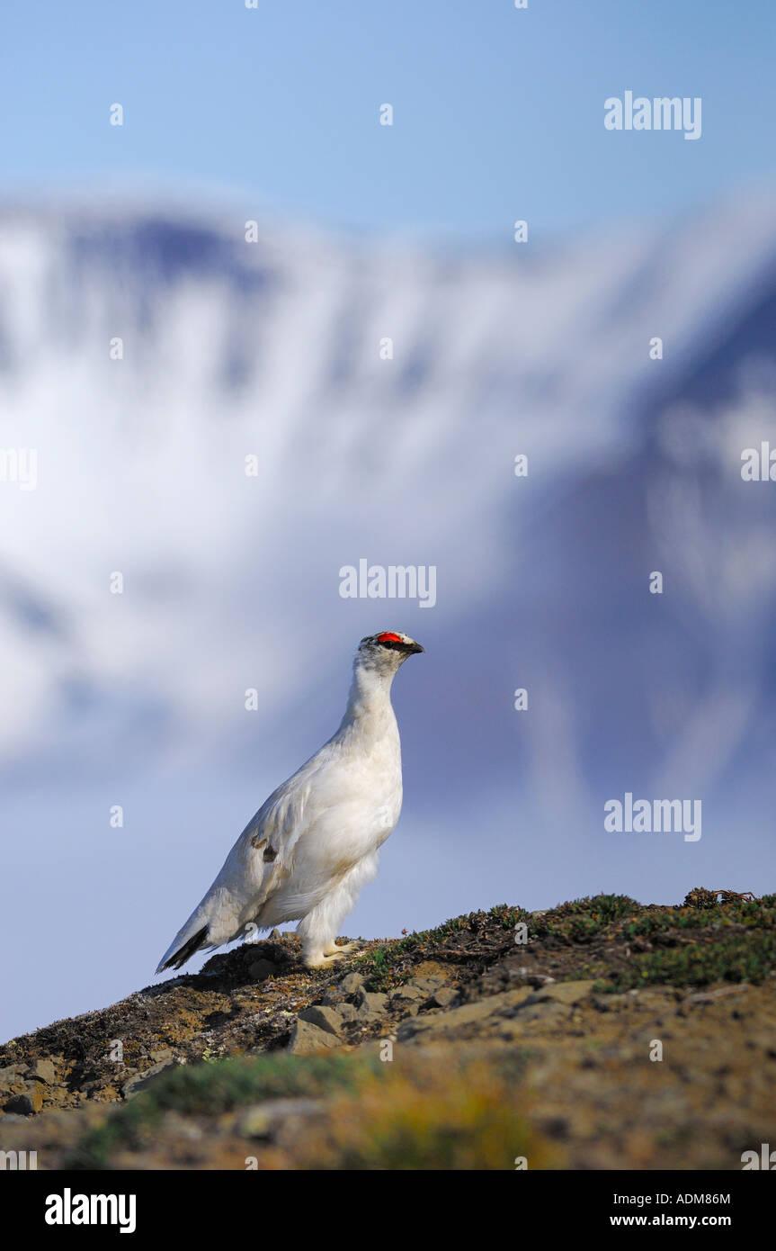 svalbard rock ptarmigan in his surroundings lagopus muta hyperborea Stock Photo