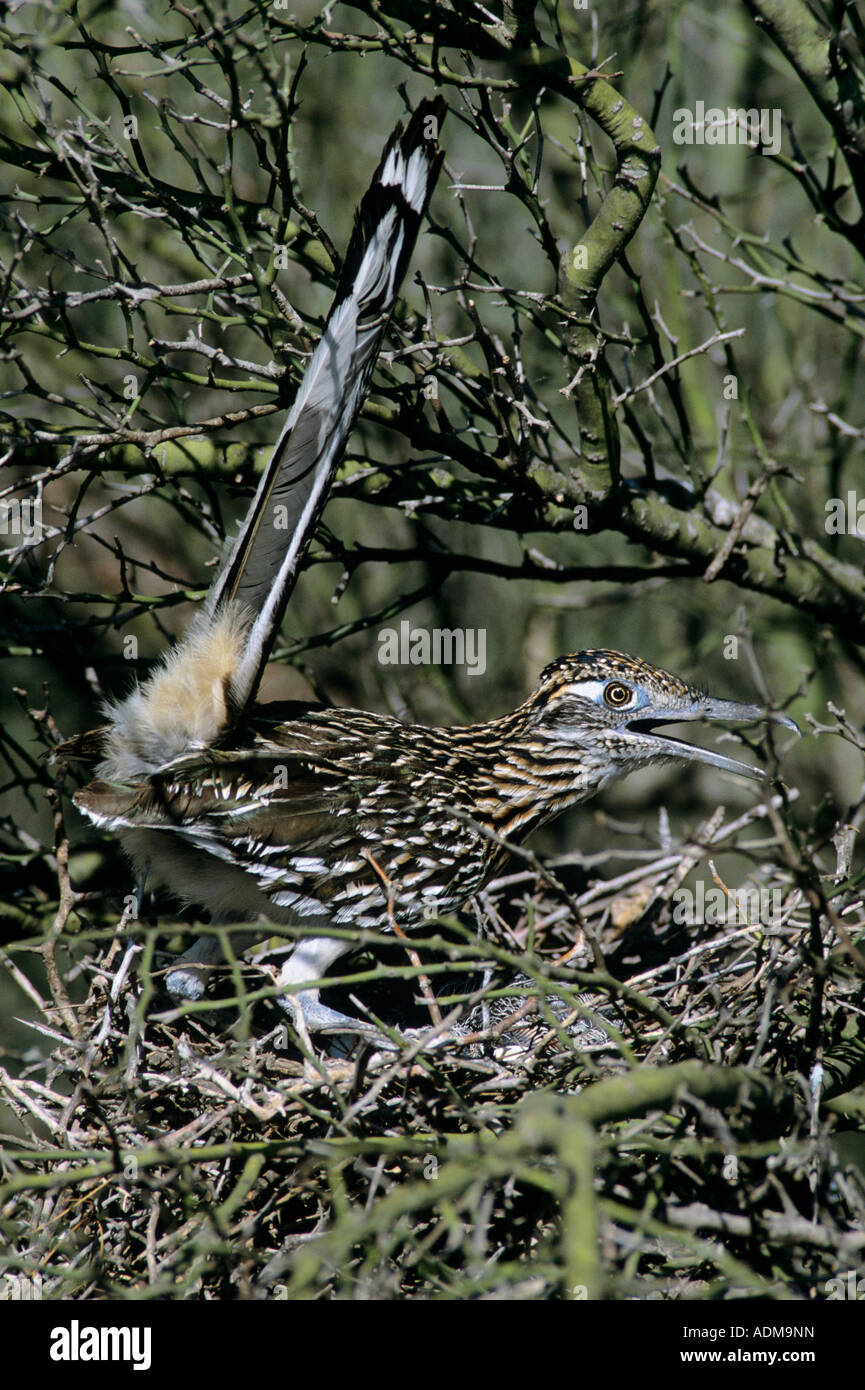 Greater Roadrunner Geococcyx californianus adult on nest with young in Paloverde  Starr County Rio Grande Valley - Stock Image