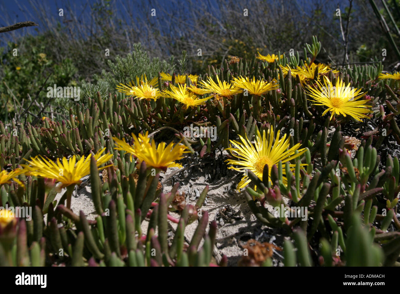 Wild Spring Flowers Succulent Aizoaceae Cheiridopsis On The West