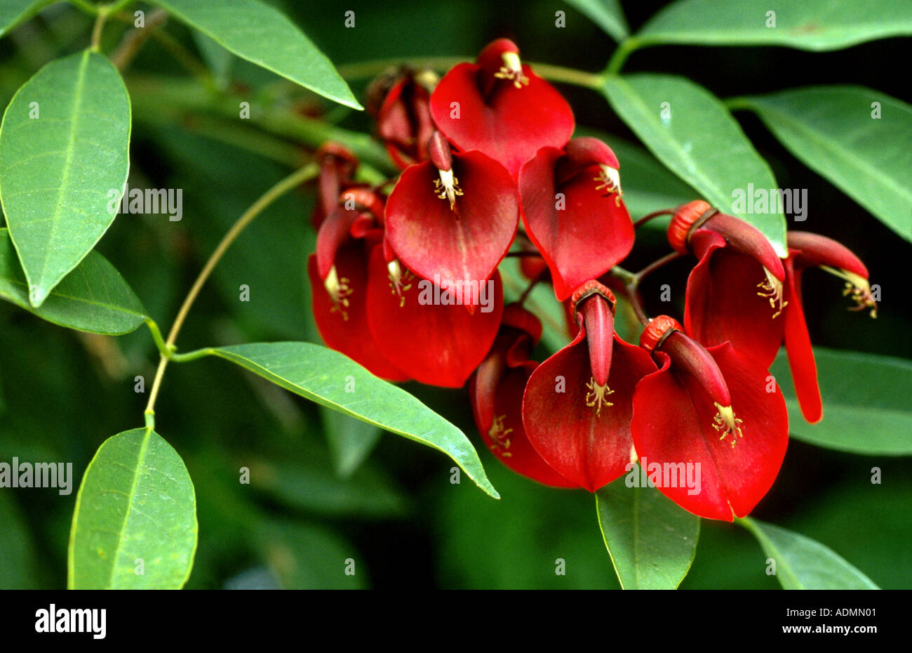 cockspur coral tree (Erythrina crista-gallii), blooming Stock Photo