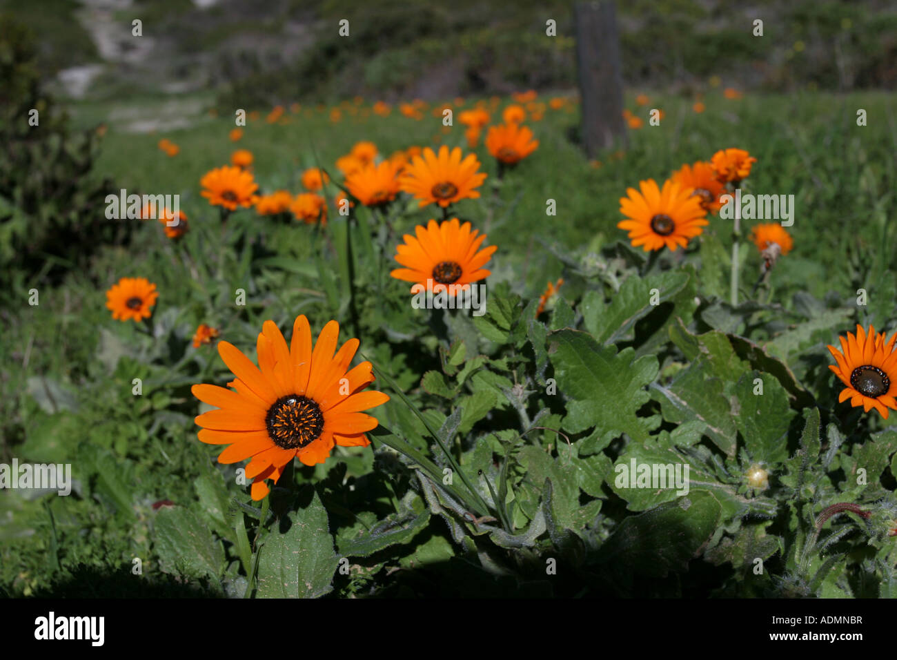 Wild Spring flowers - daisies - on the West Coast of South Africa. - Stock Image