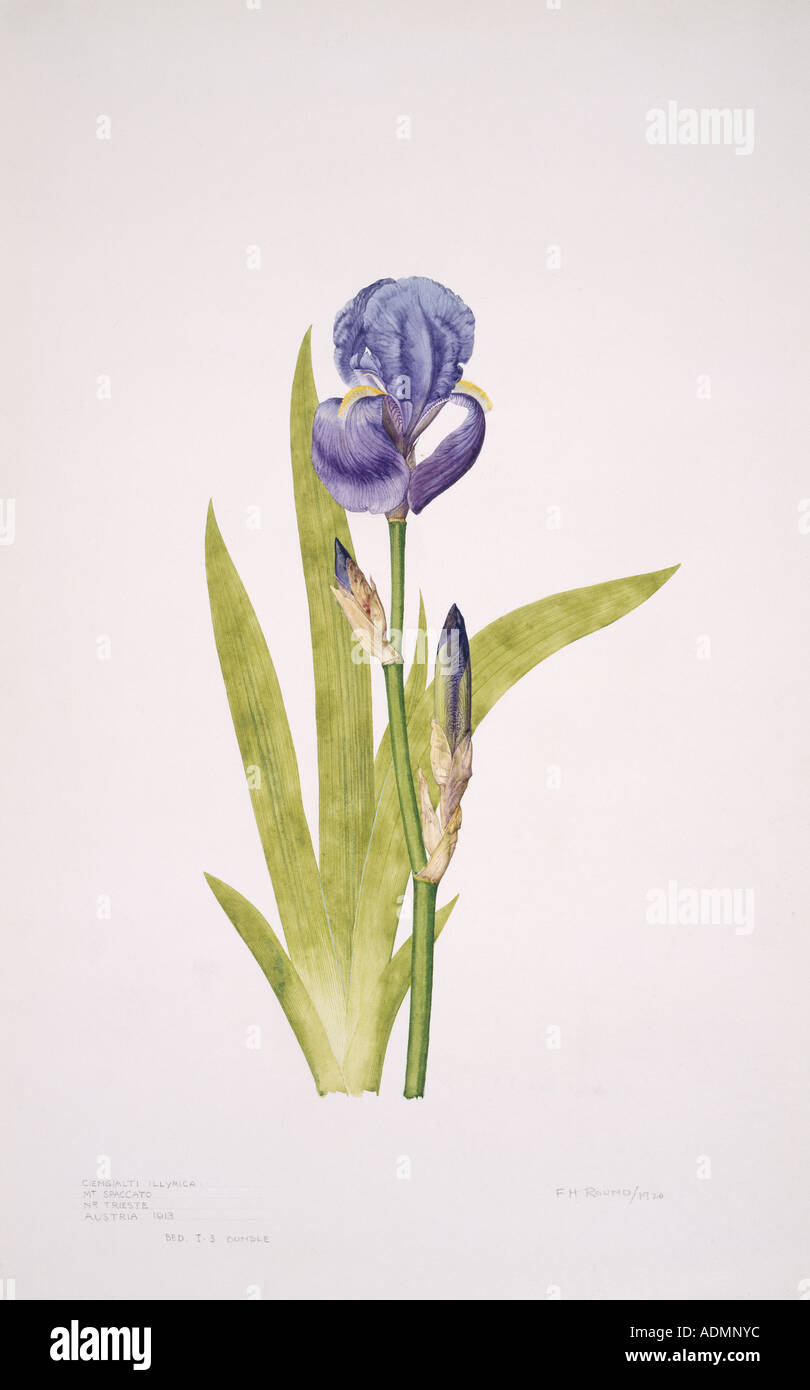 Iris pallida bearded iris - Stock Image