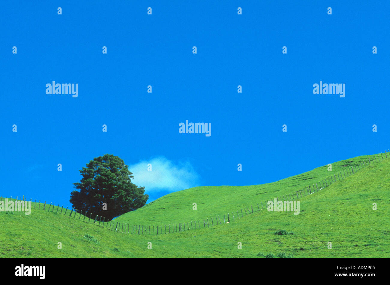 tree in meadow along Forgotten World Highway, New Zealand, Northern Island - Stock Image