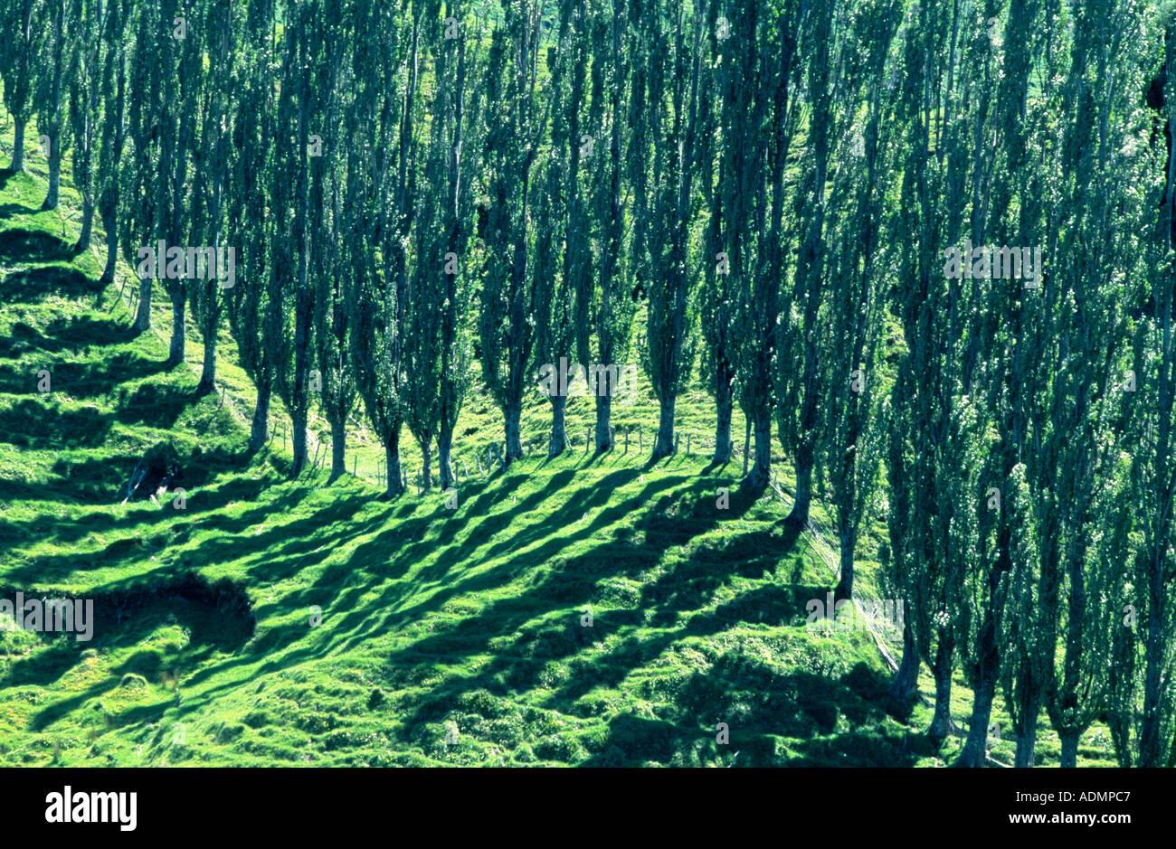 trees along Forgotten World Highway, New Zealand, Northern Island - Stock Image