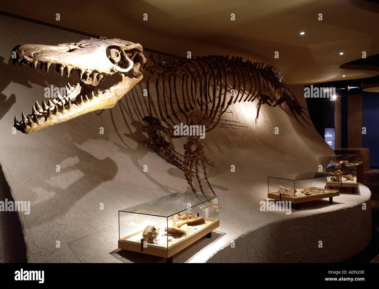 Maastricht, Naturhistorisches Museum, Skelett eines Dinosaurier (Mosasaurus) - Stock Image