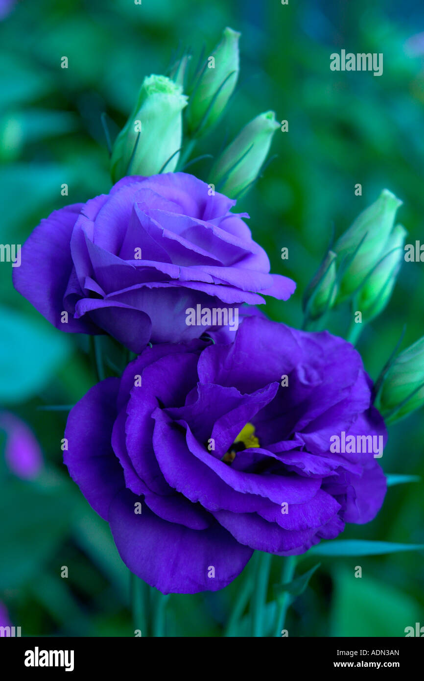 Blue Lisianthus or Eustoma Grandiflorum - Stock Image