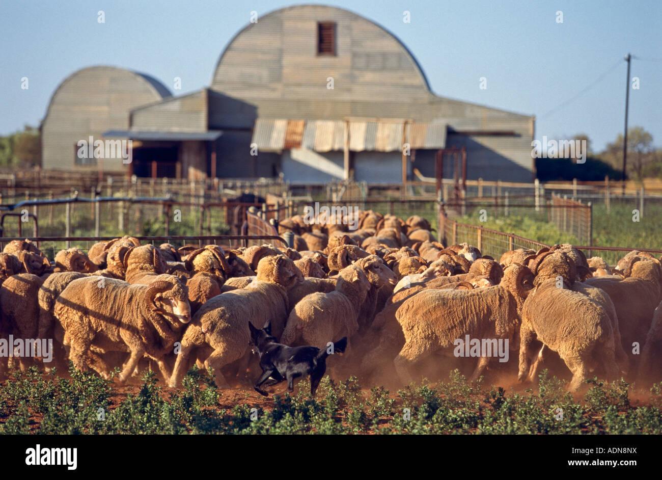 Yarding merino sheep  Australia Stock Photo