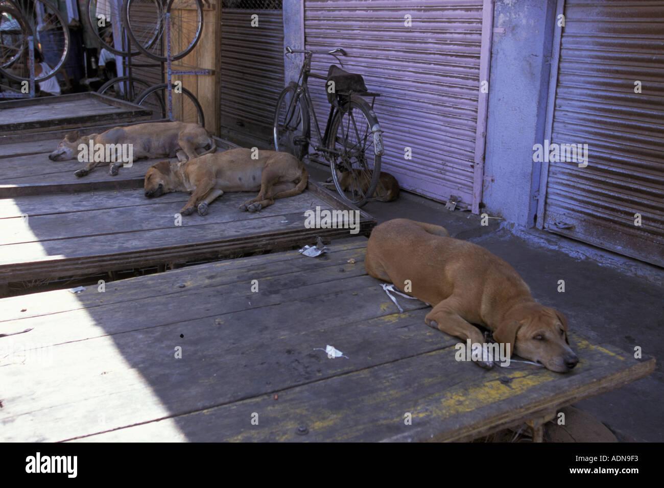 India Jodhpur 3 sleeping dogs in mid day heat - Stock Image
