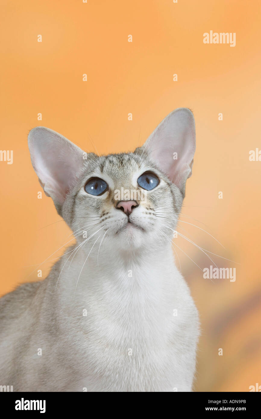 Seal Tortie Point Stock Photos Seal Tortie Point Stock Images Alamy
