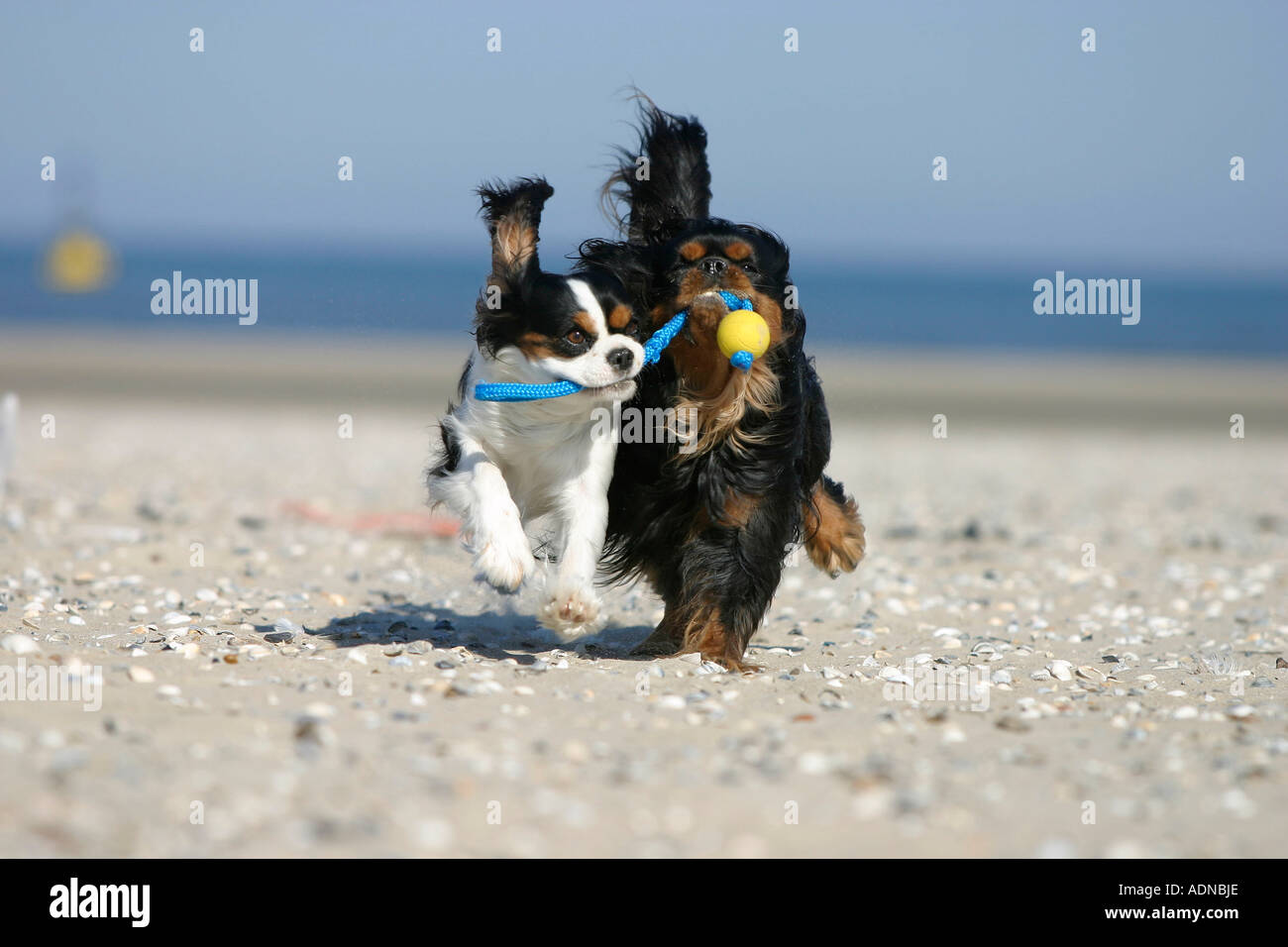 Cavalier King Charles Spaniel retrieving ball at beach Stock Photo