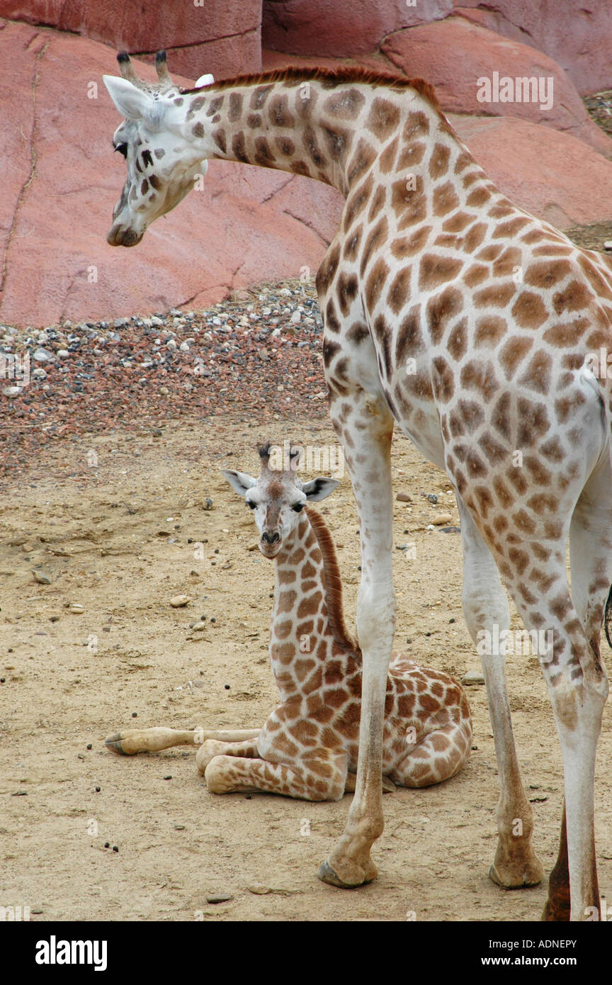 Portrait of giraffe and her young in captivity - Stock Image