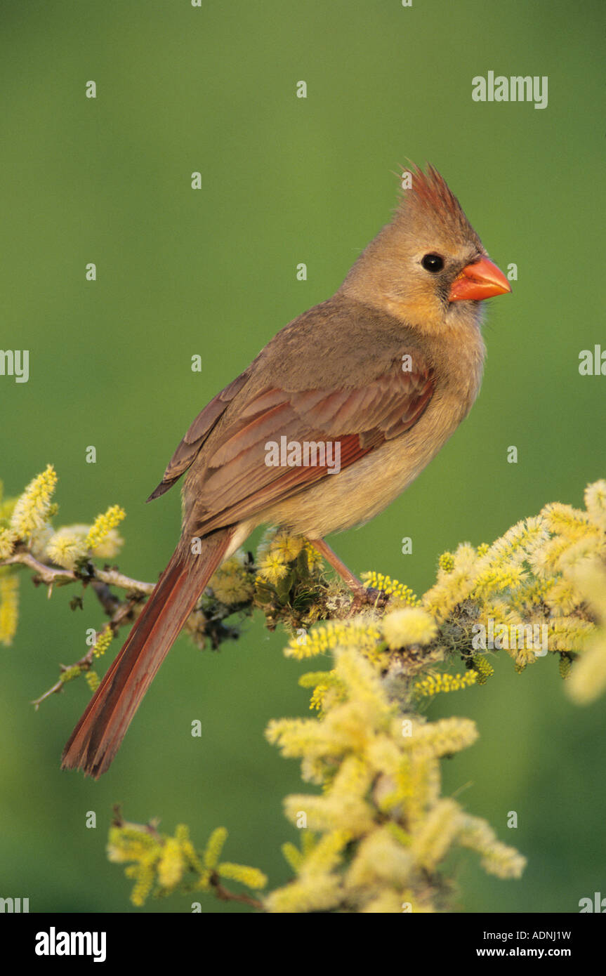 Northern Cardinal Cardinalis cardinalis female on blooming Blackbrush Acacia Acacia rigidula Lake Corpus Christi - Stock Image