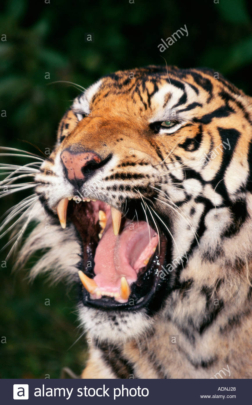 Close-up of a Bengal Tiger snarling (Panthera tigris) - Stock Image