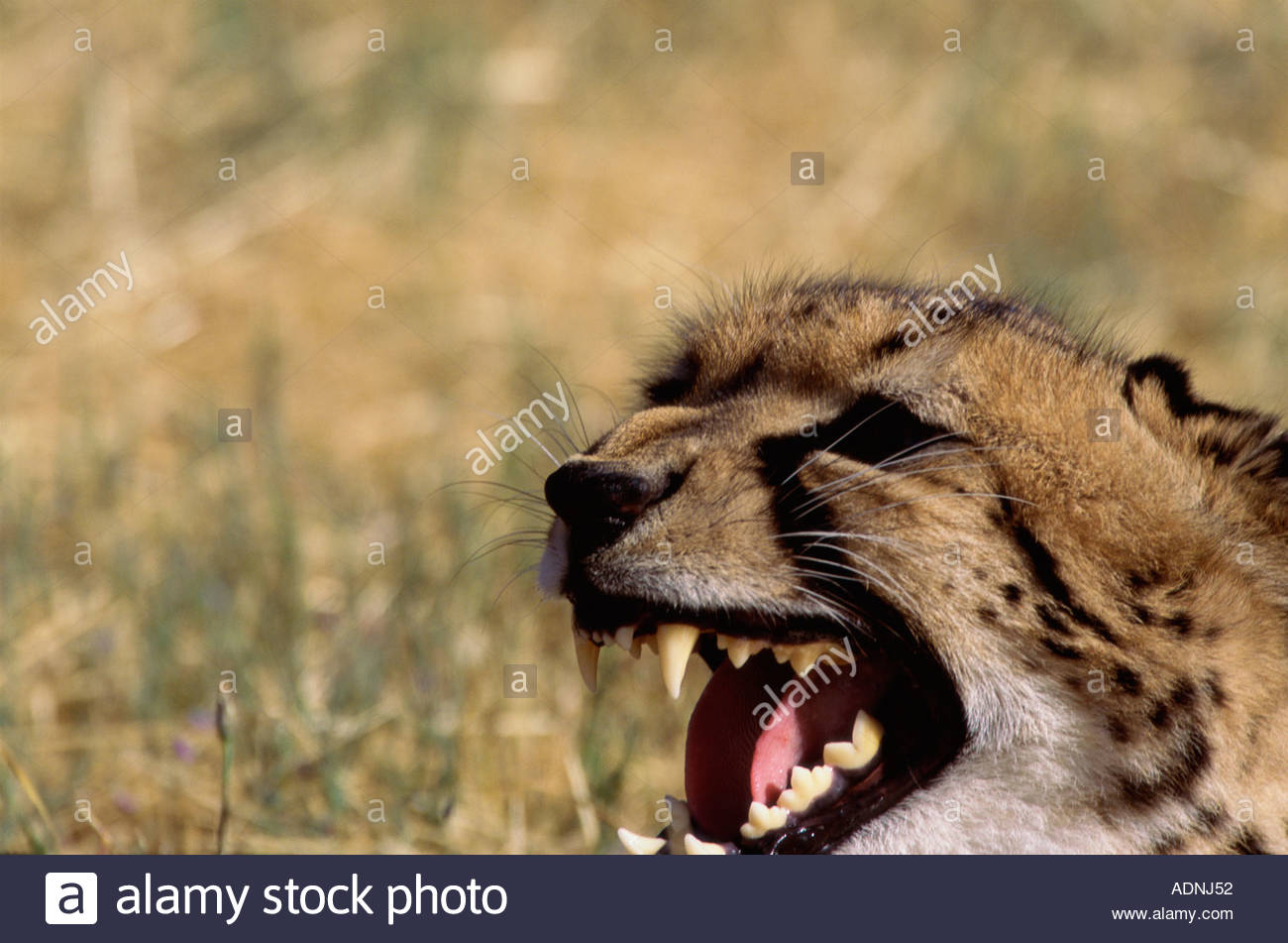 Close-up of a cheetah snarling (Acinonyx jubatus) - Stock Image