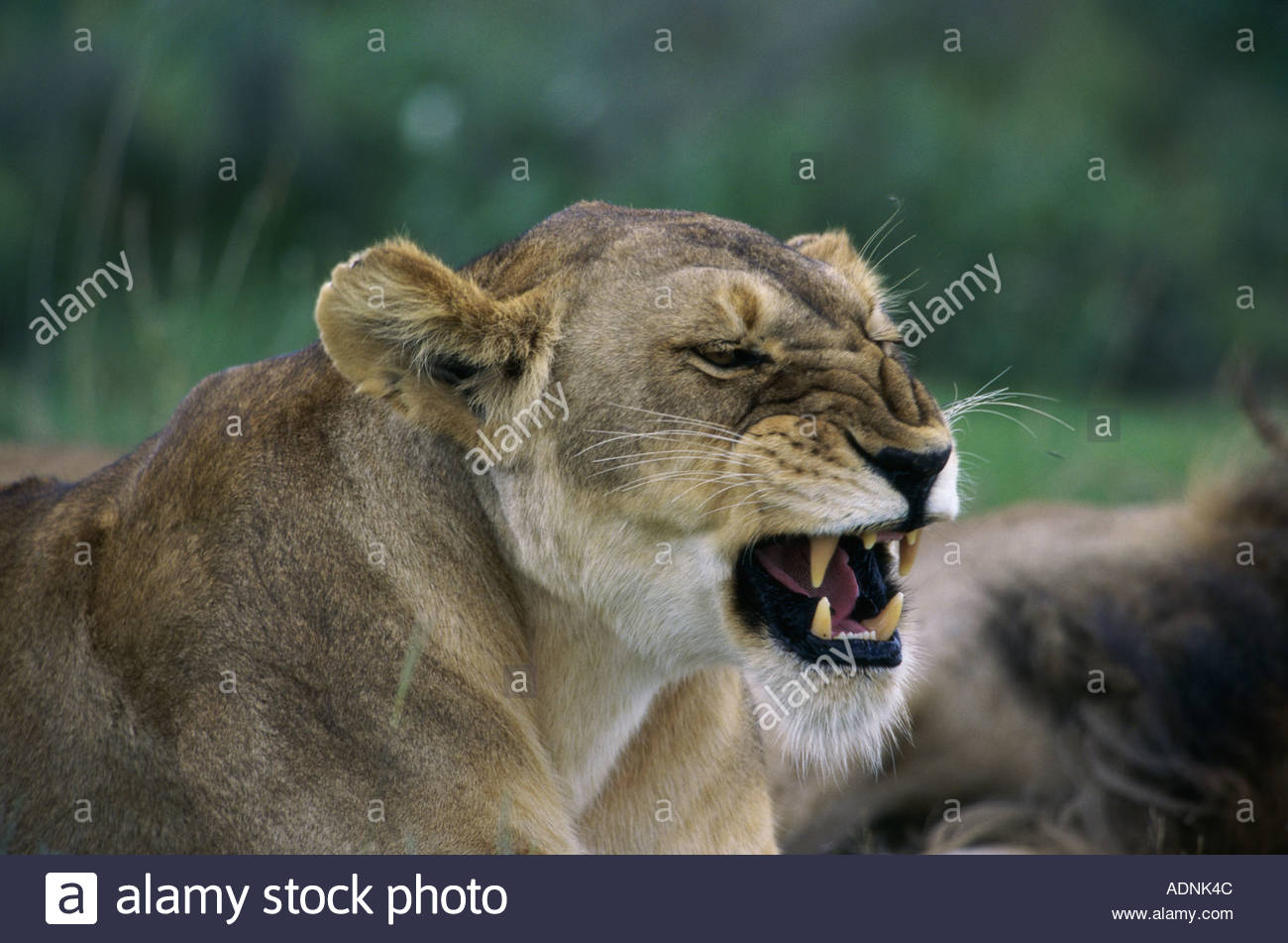 Side profile of an African lion snarling (Panthera leo) - Stock Image