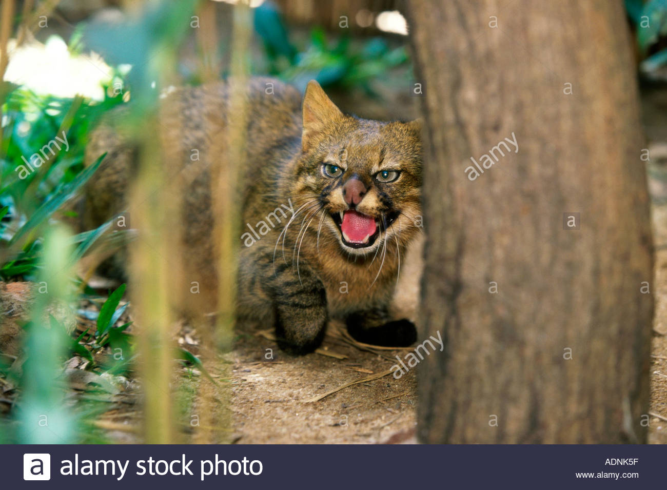 Pampas Cat snarling (Felis colocolo) - Stock Image