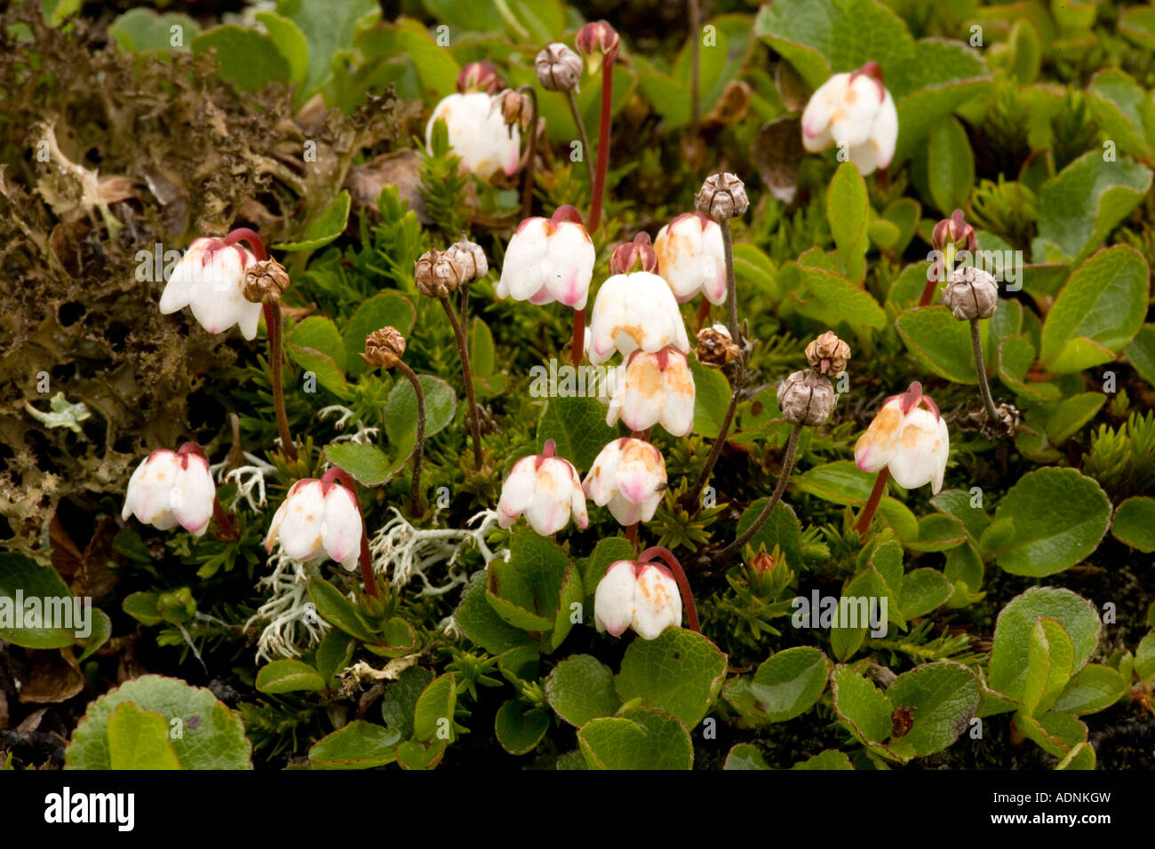 Cassiope Cassiope hypnoides north Norway - Stock Image