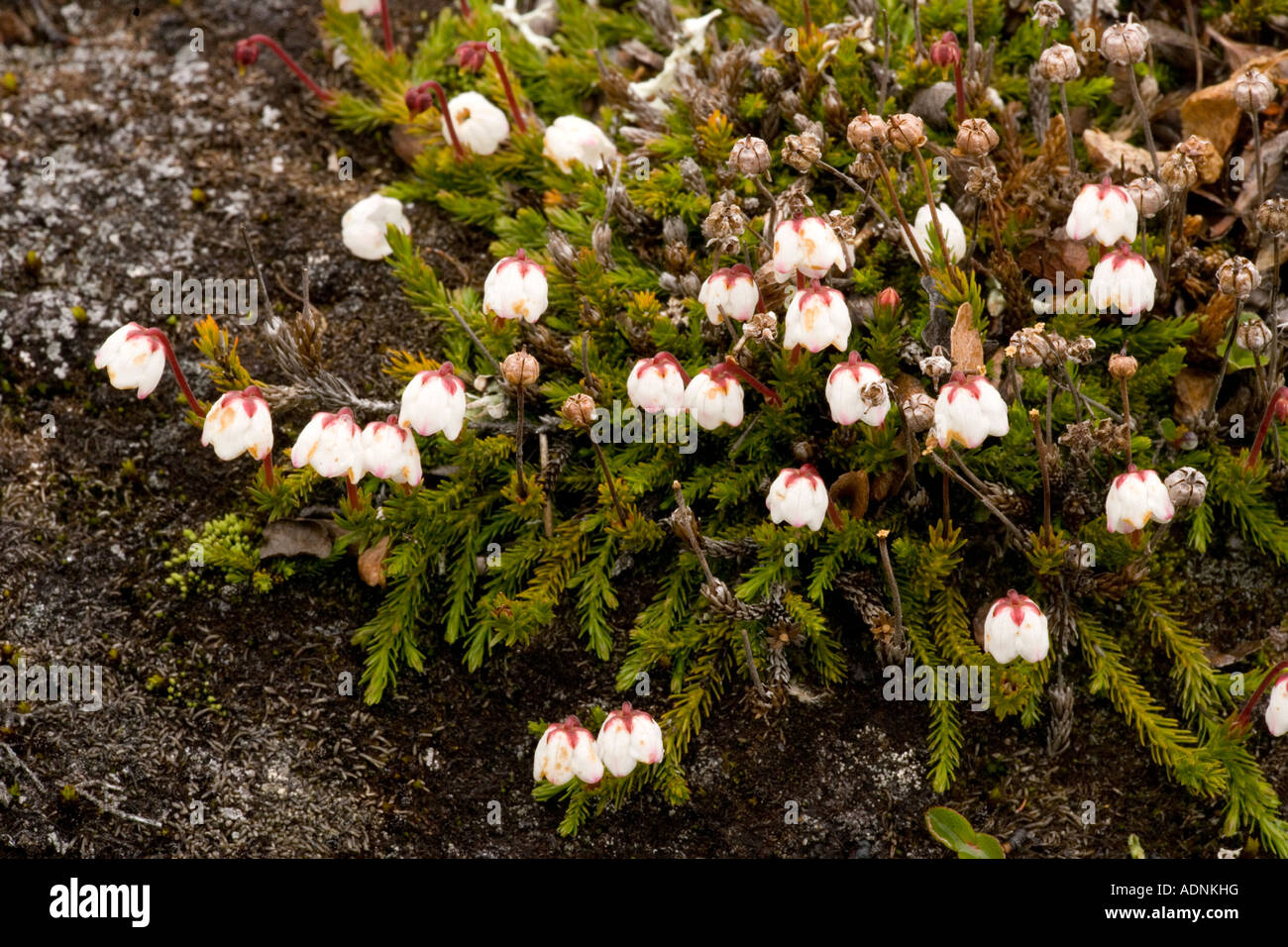 Matted Cassiope Cassiope hypnoides north Norway - Stock Image