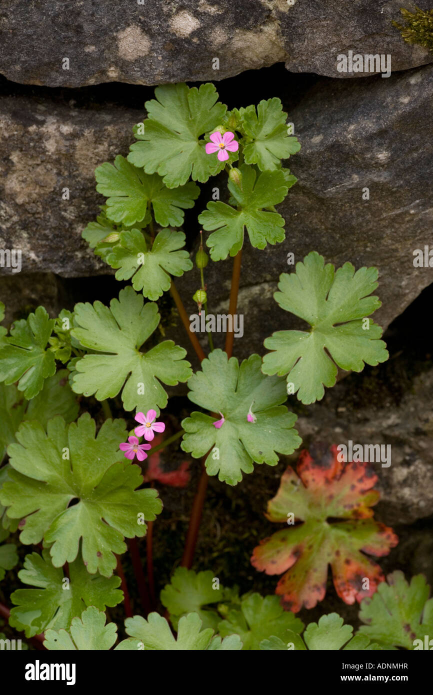 Rock Cranesbill Stock Photos Amp Rock Cranesbill Stock