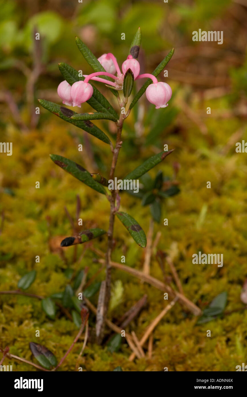 Bog rosemary Andromeda polifolia in flower Uncommon in bogs north Britain - Stock Image