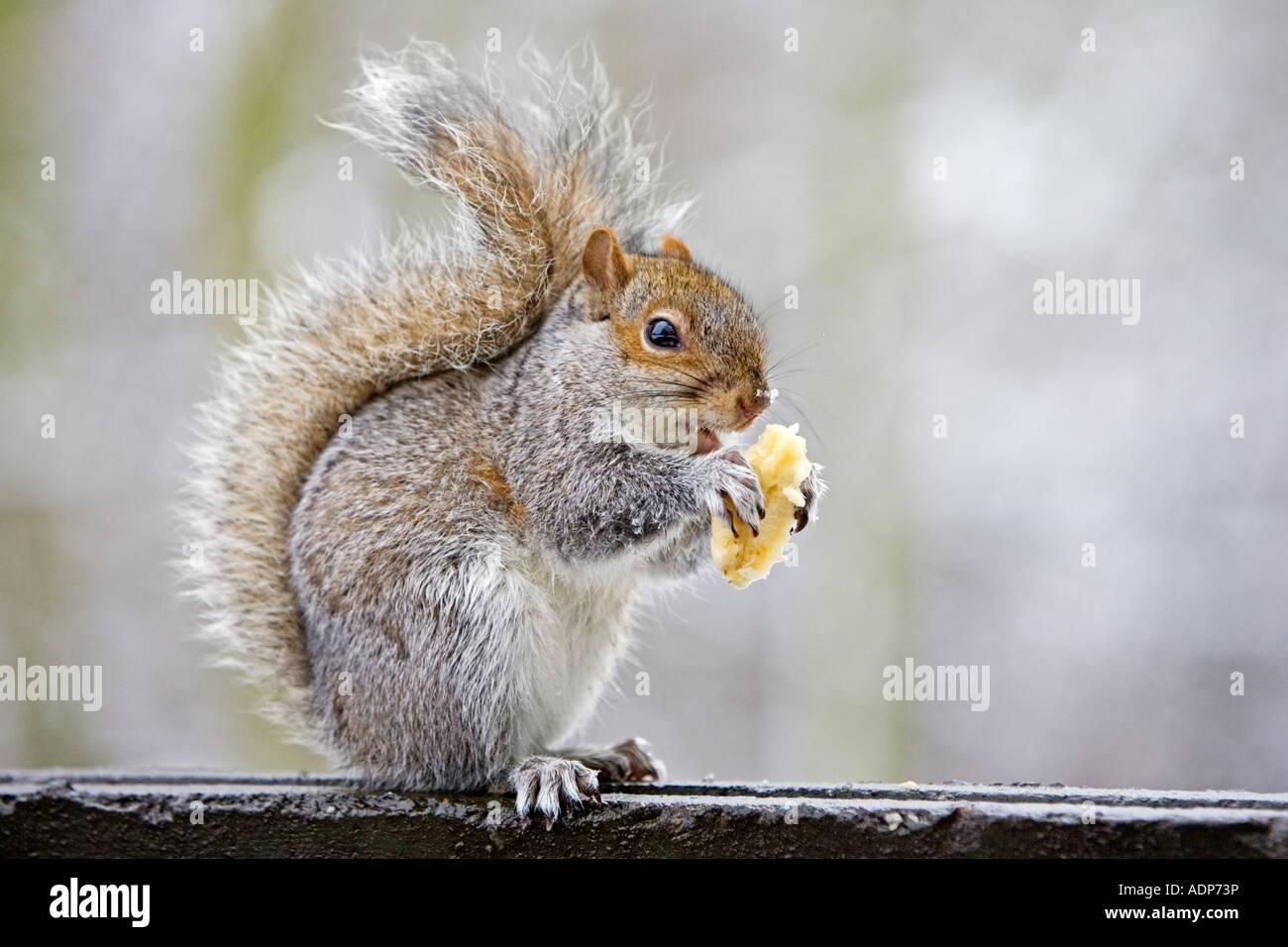 Grey squirrel eats scraps from rubbish bin in Hampstead Heath London United Kingdom - Stock Image