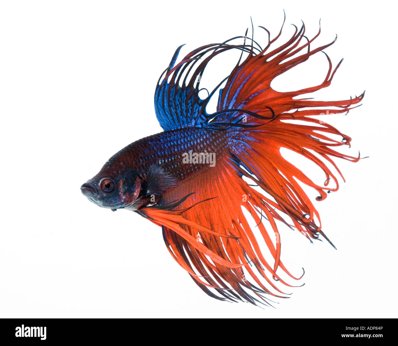 Colourful Betta Stock Photos & Colourful Betta Stock Images - Alamy