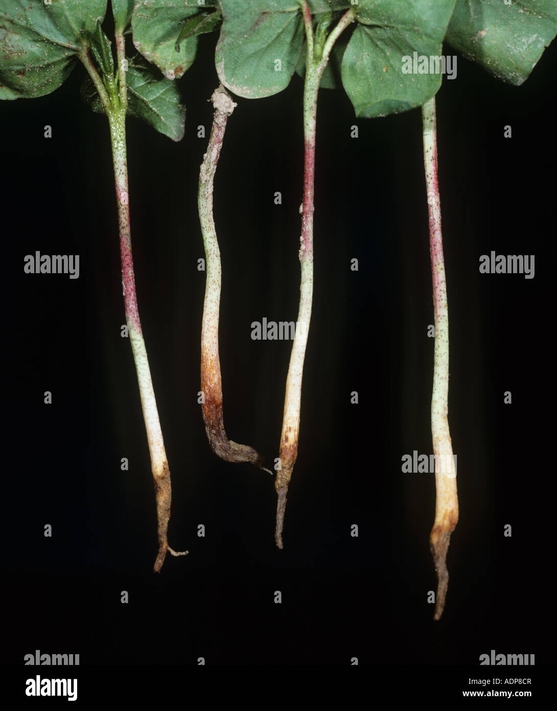 Sore shin or foot rot Rhizoctonia solani damage to seedling cotton roots Greece - Stock Image