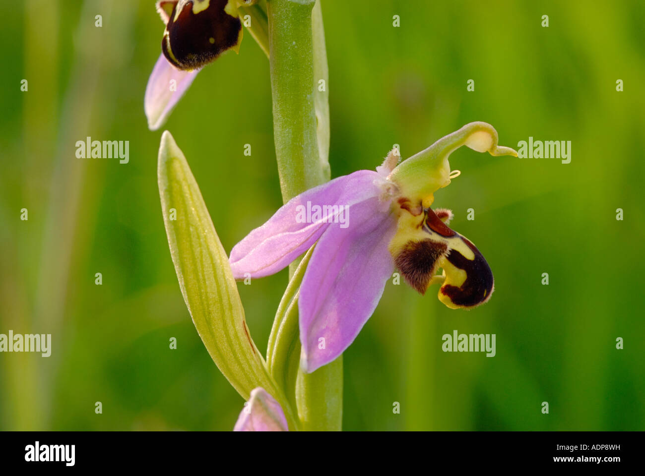 Close up of Bee Orchid Ophrys Apifera - Stock Image