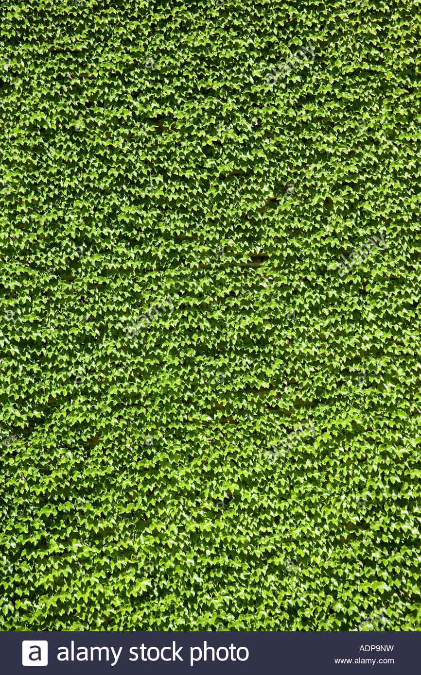 Wall of ivy at the University of Toronto in Toronto Ontario Canada - Stock Image