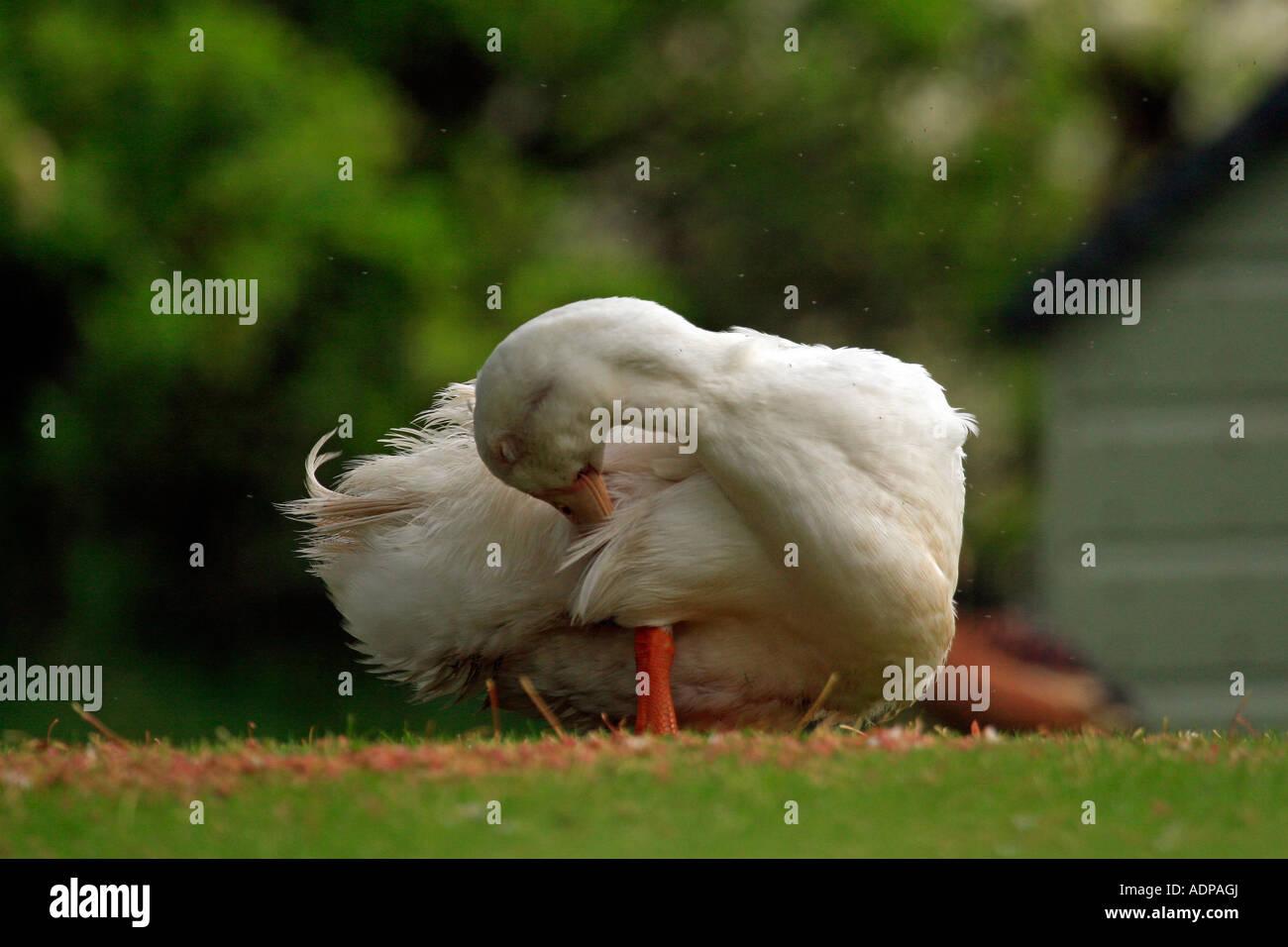 Preening duck. - Stock Image