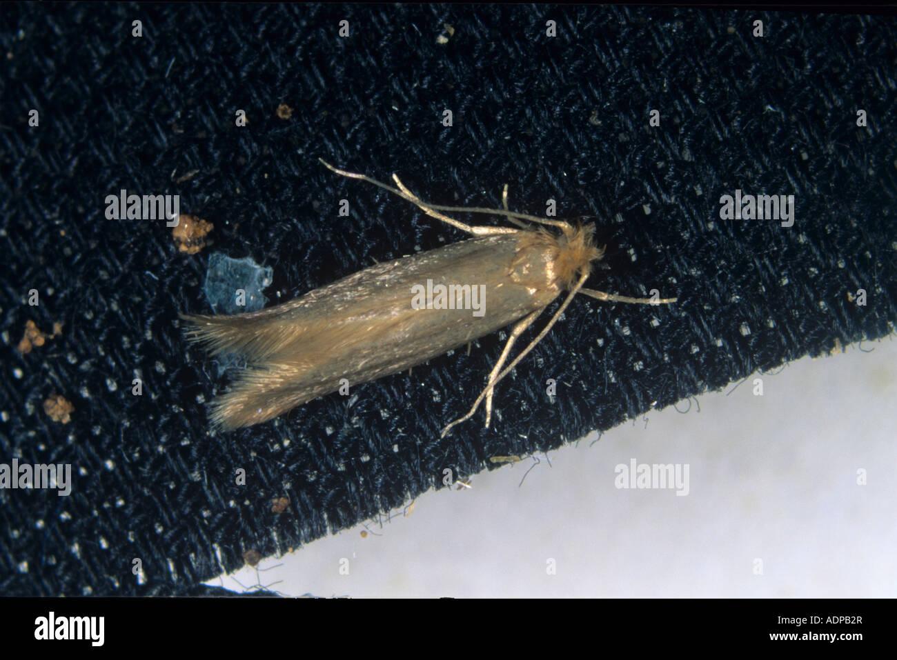 Clothes moth Tineola biselliella moth on fabric - Stock Image